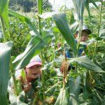 フルーツトウモロコシ畑