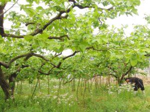 市田柿の畑1