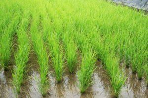 梅雨の稲田