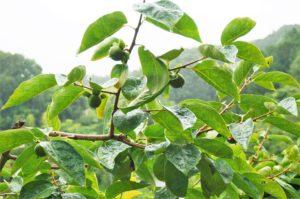 梅雨時の市田柿