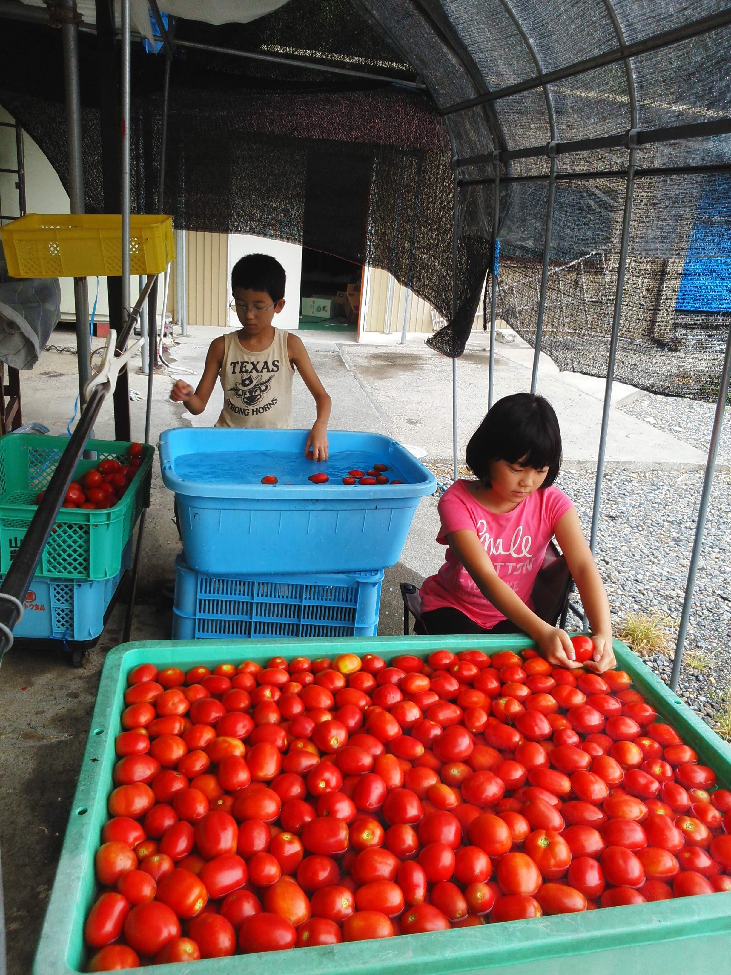 トマトジュースのトマト