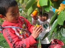 市田柿の収穫