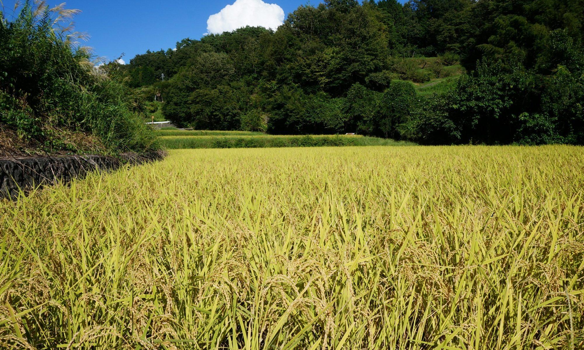 稲刈り前の田んぼ