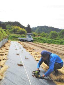 加工用トマトの定植